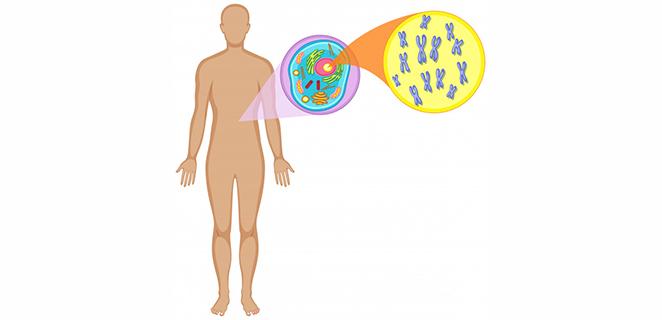 الكروموسوم X ( Chromosome x ) | الطبي