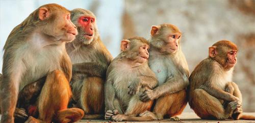 هل سيتوقف استخدام القرود كحيوانات تجارب؟