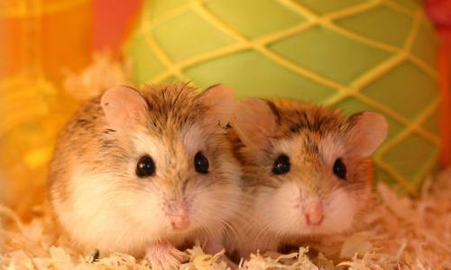 معرفة سبب التفضيل الجنسي في الفئران