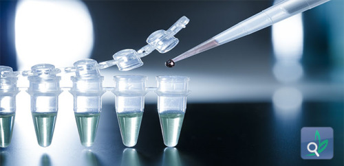 تطويراوعية دموية في الفئران باستخدام خلايا جذعية بشرية