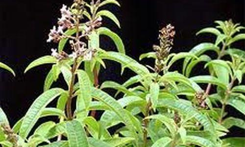 ما هو نبات المليسة؟