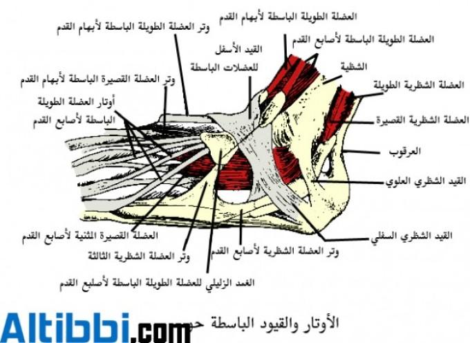 أربطة الجسم المختلفة من صنعها وربطها وشد احكامها Ankle_def_15206_1
