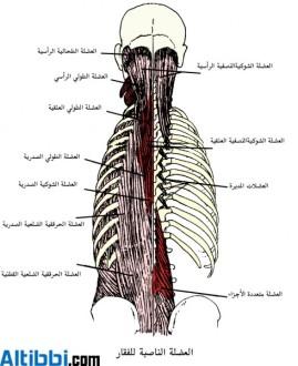 عضلة حرقفية ضلعية