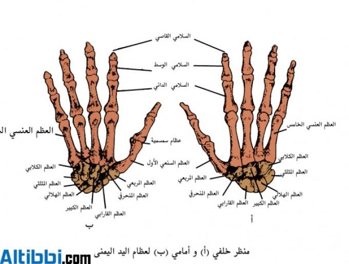 عظام اصابع اليد