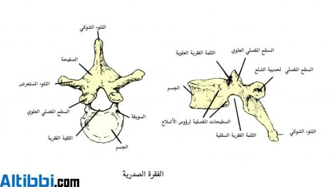 فقرات صدرية
